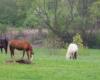 Konie pasące się na łące na pograniczu Bieszczad i Beskidu Niskiego.