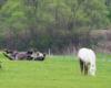 Kopytka do góry na pierwszym wejściu na pastwisku! Konie w ośrodku jeździeckim Tarpan w Wysoczanach w Bieszczadach.