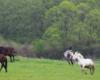 Radość koni na pierwszej trawie na pograniczu Bieszczad i Beskidu Niskiego.