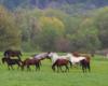 Konie po pierwszym wejściu na pastwisku wiosną. Konie należą do właścicieli stadniny koni Tarpan w Wysoczanach.