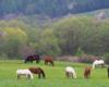 Konie Ośrodka Jeździeckiego Tarpan w Wysoczanach wiosną na pastwisku. To piękne miejsce jest położone na pograniczu Bieszczad i Beskidu Niskiego.