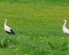 Bociany sfotografowane na pastwisku stadniny koni Tarpan w Wysoczanach przed wypuszczeniem koni na pierwszą trawę.