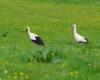 Zdjęcie bocianów na pograniczu Bieszczad i Beskidu Niskiego - to ptaki najbardziej nam się kojarzące z Polską i Sanokiem.