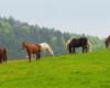 Konie i kształty gór na pograniczu Bieszczad i Beskidu Niskiego - takie widoki w stadninie koni Tarpan w Wysoczanach.