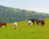 Drugie stado koni w Ośrodku Jeździeckim Tarpan w Wysoczanach na pierwszym wejściu na pastwisko z trawą.