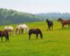 Kolory wiosny na pograniczu Bieszczad i Beskidu Niskiego - konie w Ośrodku Jeździeckim Tarpan w Wysoczanach.
