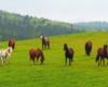 Konie w poszukiwaniu smaczniejszej trawy na pastwisku stadniny koni Tarpan - to ośrodek jeździecki położony zarówno w Bieszczadach, jak i w Beskidzie Niskim.