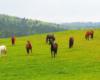 Konie pasące się na pograniczu Bieszczad i Beskidu Niskiego. Patrzenie na nich jest niepowtarzalną atrakcją i pomysłem na wycieczkę.