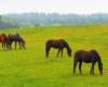 Kolory wiosny i konie na pastwisku w Ośrodku Jeździeckim Tarpan w Wysoczanach - to stadnina położona na granicy Bieszczad i Beskidu Niskiego.