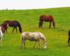 Konie wędrujące za najlepszą trawą na granicy Bieszczad i Beskidu Niskiego - tak piękne krajobrazy w Ośrodku Jeździeckim TARPAN w Wysoczanach.