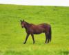 Koń Pers jest dominującym w jednym z dwóch stad w Ośrodku Jeździeckim Tarpan w Wysoczanach. Na pierwszym wejściu na pastwisko prowadził stado koni.