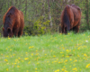 Głową w trawie - konie zajęły się delektowaniem się pierwszą w sezonie trawą. Ośrodek Jeździecki Tarpan w Wysoczanach.
