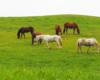Konie na pastwisku w stadninie koni Tarpan w Wysoczanach. To ośrodek jeździecki położony zarówno w Bieszczadach, jak i w Beskidzie Niskim.