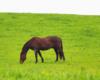 Nasz ulubiony koń pers na wiosennym pastwisku w stadninie konie Tarpan w Beskidzie Niskim z widokiem na Bieszczady.