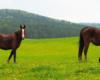 Jeden koń się pasie, a drugi patrzy z ciekawością co fotograf robi ;-) Ośrodek Jeździecki Tarpan w Wysoczanach.
