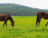 Konie na wiosennym pastwisku w Ośrodku Jeździeckim Tarpan - to pogranicze Bieszczad i Beskidu Niskiego.