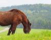 Najstarszy koń Olaf w Ośrodku Jeździeckim Tarpan. Ma już 28 lat.
