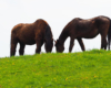 Konie pasące się na pastwisku w Wysoczanach - Ośrodek Jeździecki Tarpan. To piękne miejsce na granicy Bieszczad i Beskidu Niskiego.