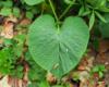 W lasach bieszczadzkich można odnaleźć oznaki miłości. Liść przy szlaku górskim prowadzącym na Bukowe Berdo w Bieszczadach.