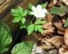 Jeden z ostatnich zawilców tej wiosny przy szlaku prowadzącym z Mucznego na Bukowe Berdo w Bieszczadzkim Parku Narodowym.