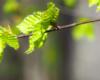 Przepiękne kolory liści buków wiosną - dla takich widoków warto się wybrać w Bieszczady wiosną na wycieczkę jednodniową.