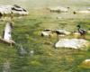 Kaczor i kaczka spotkane nad rzeką Wisłok poniżej zapory wodnej w Sieniawie tworzącej Jezioro Sieniawskie.
