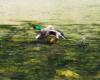 Kaczor lecący nad wodą rzeki Wisłok poniżej zapory wodnej w Sieniawie w okolicach Rymanowa w Beskidzie Niskim.