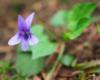 Fiołek leśny (Viola reichenbachiana) na pograniczu Bieszczad i Beskidu Niskiego.