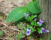 Fiołek leśny (Viola reichenbachiana) i żywokost bulwiasty (Symphytum tuberosum L.) - przepiękny kwiat na pograniczu Bieszczad i Beskidu Niskiego.