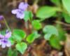 Fiołek leśny (Viola reichenbachiana) kwiat na pograniczu Bieszczad i Beskidu Niskiego.
