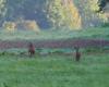 Sarny pasące się na łące na granicy Bieszczad i Beskidu Niskiego o poranku.