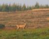 Zdjęcie sarny na jednej z łąk Beskidu Niskiego wykonane w mglisty poranek.