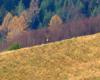 Jeleń z dużym porożem na pograniczu Bieszczad i Beskidu Niskiego (już po rykowisku) o wschodzie słońca.