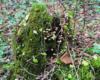 Mech porastający stary pień drzewa przy trasie kuligów po Bieszczadach.