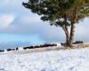 Do stada żubrów doszedłem idąc pod wiatr, stąd mnie nie wyczuły - niektóre jak widać nadal zajadały się trawą wystającą ponad śnieg...