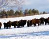 To stado żubrów składa się z sami zwanych krowami i ich młodymi - samce tworzą osobne stada.