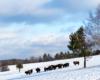 To stado liczące 20 sztuk jest jednym z wielu w Bieszczadach, Beskidzie Niskim i ogólnie w Województwie Podkarpackim, gdyż obecnie populacja żubrów przekroczyła 600 sztuk.