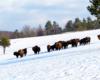 Zbliżenie na stado żubrów spotkane w godzinach południowych w Bieszczadach podczas wędrówki na nartach zimą.