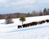 Historia żubrów w tej części Bieszczad rozpoczęła się w Woli Michowej w zagrodzie aklimatyzacyjnej - dzięki pracy leśników Nadleśnictwa Komańcza.