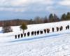 Tu każdy z Was może policzyć ile sztuk liczy stado żubrów spotkane w ostatnią niedzielę na pograniczu Bieszczad i Beskidu Niskiego.