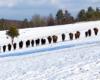 Patrząc na tak piękne żyjące na wolności stado żubrów w Bieszczadach trzeba uważać i nie zbliżać się, bo mogą być niebezpieczne - te spotkane podczas wędrówki na nartach tourowych zimą po Bieszczadach...