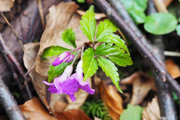 Kwiaty wiosenne na pograniczu Bieszczad i Beskidu Niskiego - żywiec gruczołowaty.